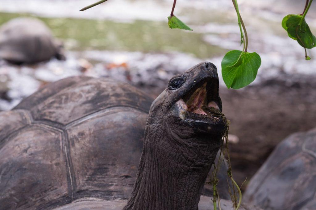 Seychelles - Turtle Eating